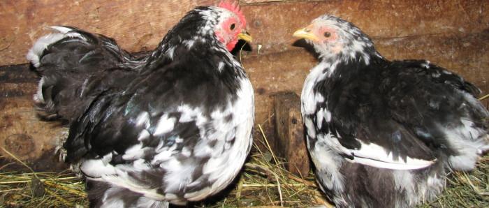 Hühner im Goldenen Hobel